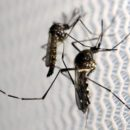 Aedes aegypti mosquitoes are seen inside Oxitec laboratory in Campinas, Brazil, February 2, 2016. REUTERS/Paulo Whitaker/File Photo